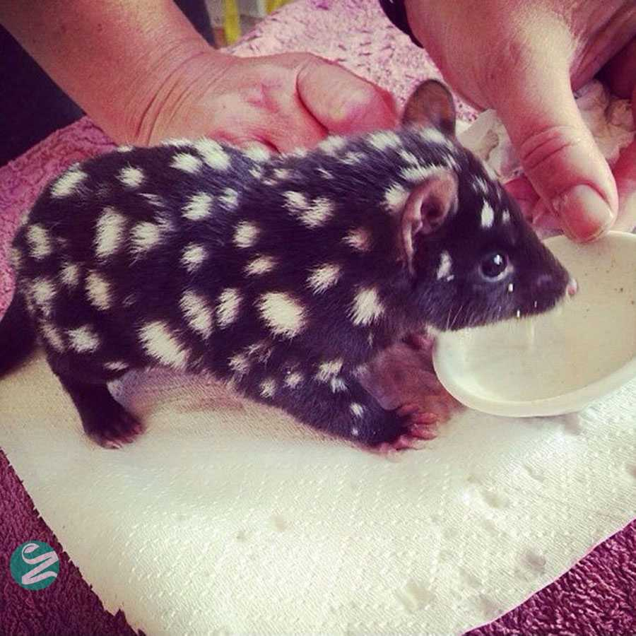 Orphaned Baby Eastern Quoll