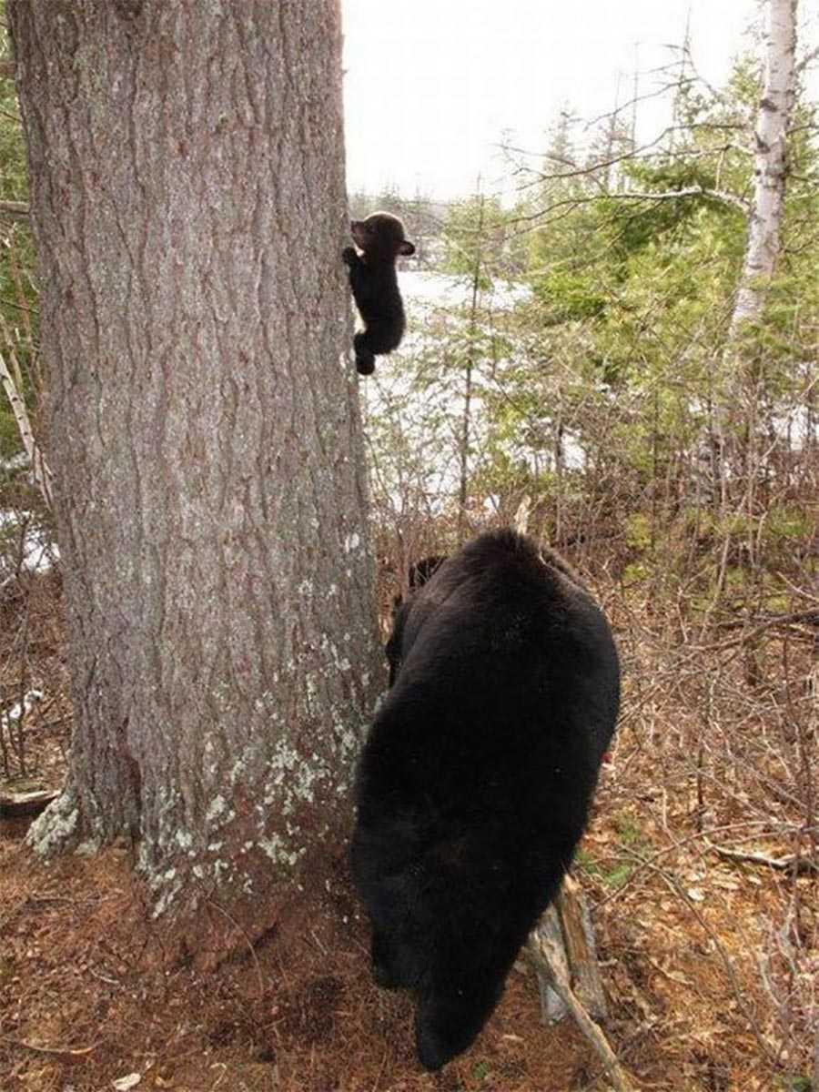 اولین باری که بچه خرس سعی دارد از درخت بالا برود