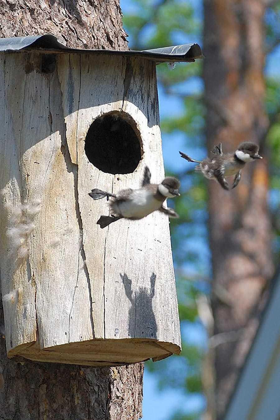 اولین باری که این دو بچه اردک از لانه خودشان بیرون پریدند