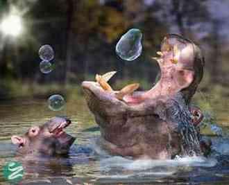 تصاویر دیدنی از بچه اسب آبی