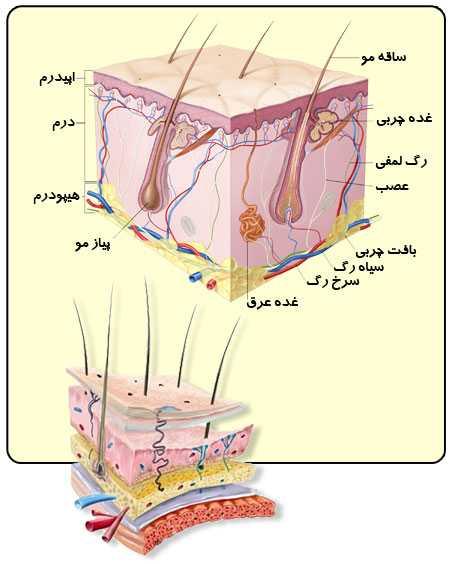 ساختمان پوست