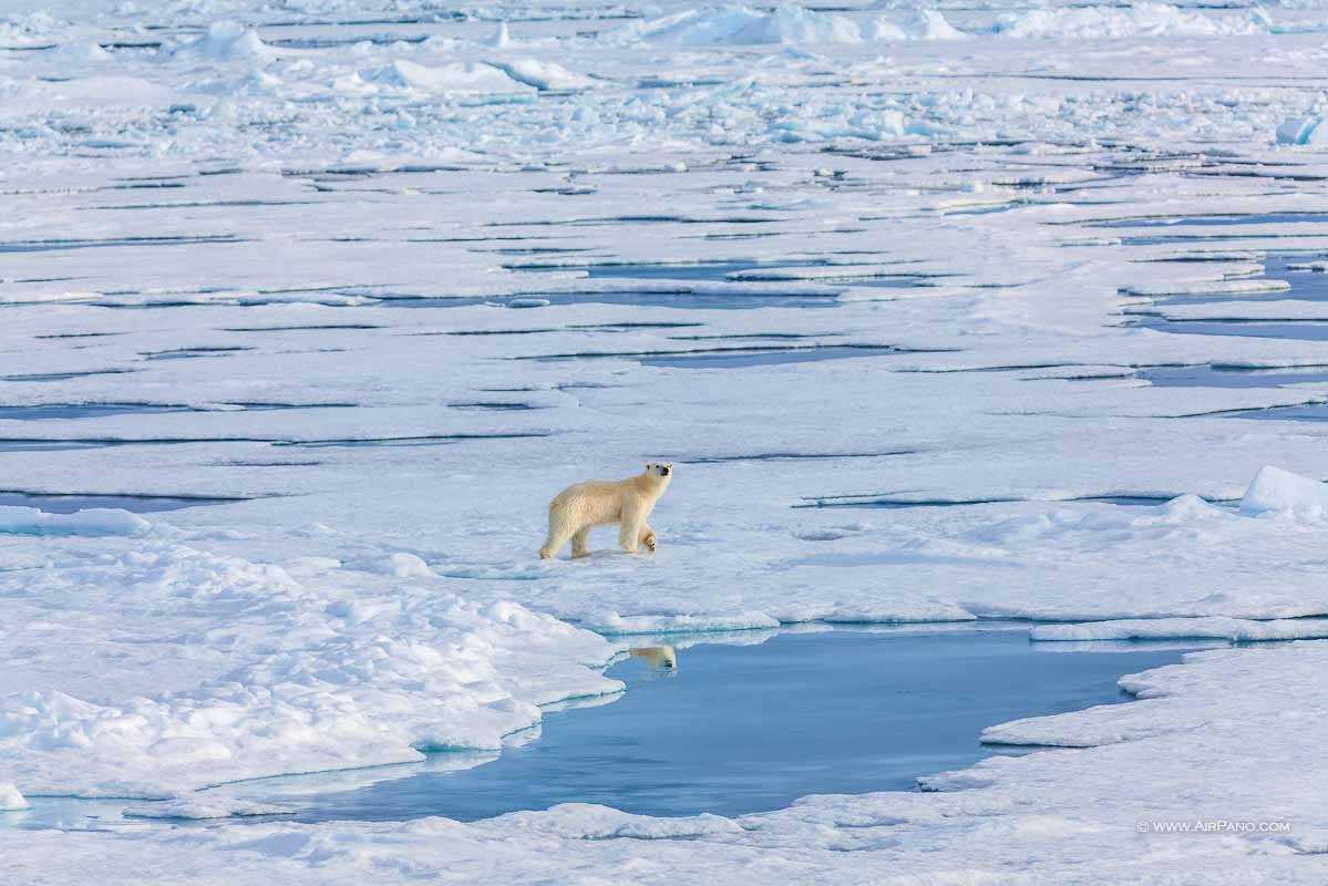 خرس قطب شمال 1