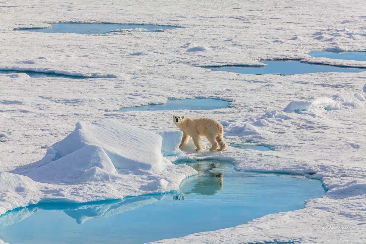خرس قطب شمال 3