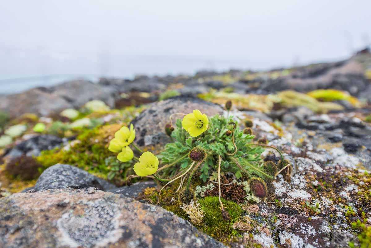 رویش گل در قطب شمال