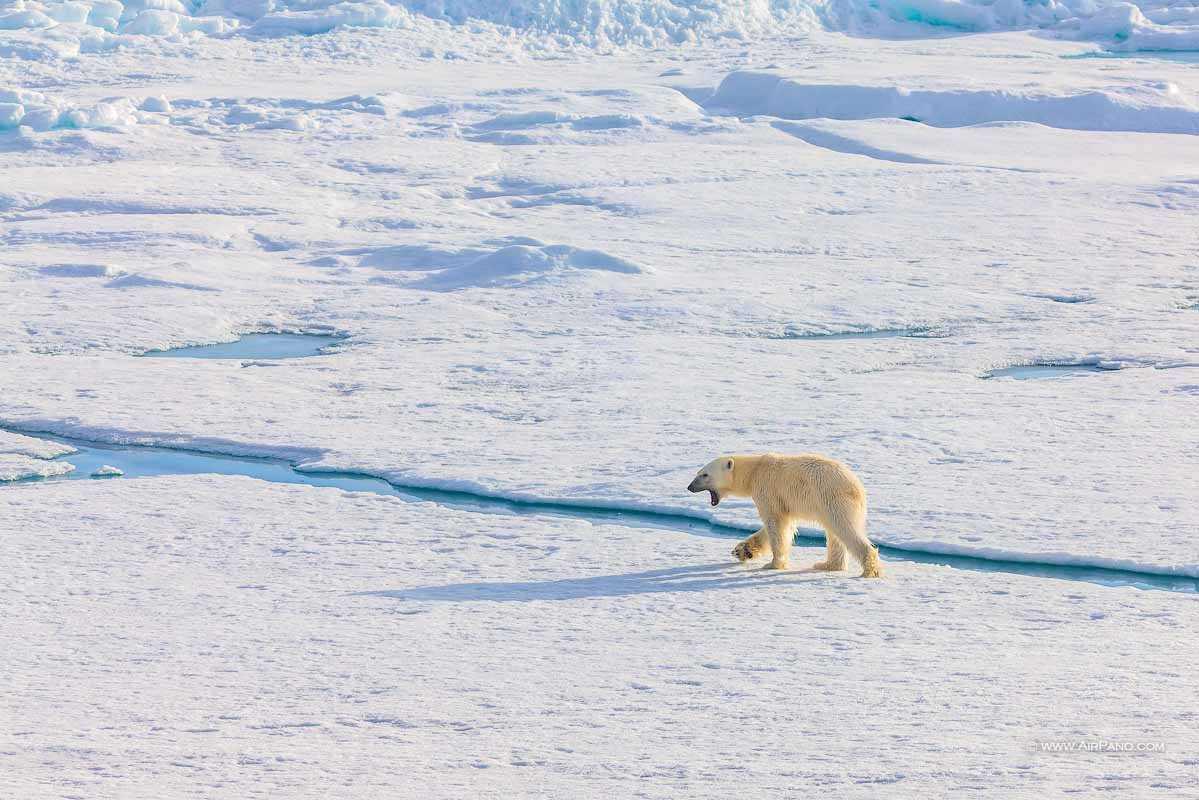خرس قطب شمال