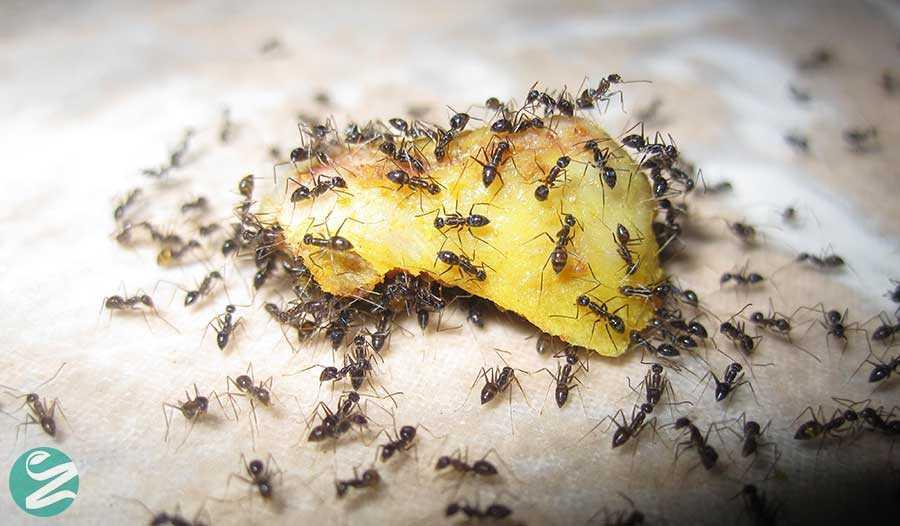 10 روش ساده از بین بردن مورچه ها