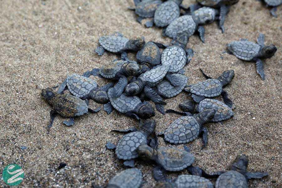 تخمگذاری لاکپشتها