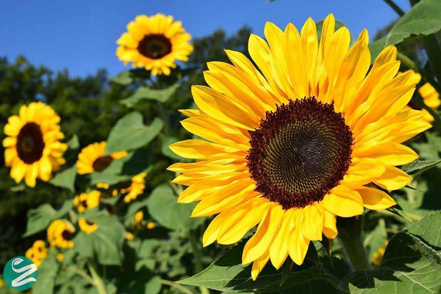 با تمام خواص و عوارض آفتابگردان آشنا شوید