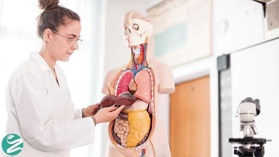 چرا کبد (جگر) مهمترین عضو بدن است؟
