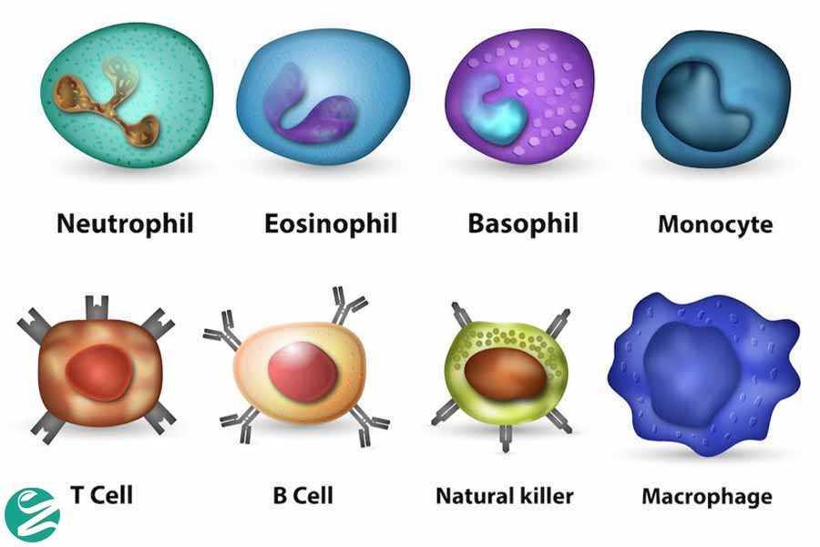 سلولهای گلبولهای سفید خون