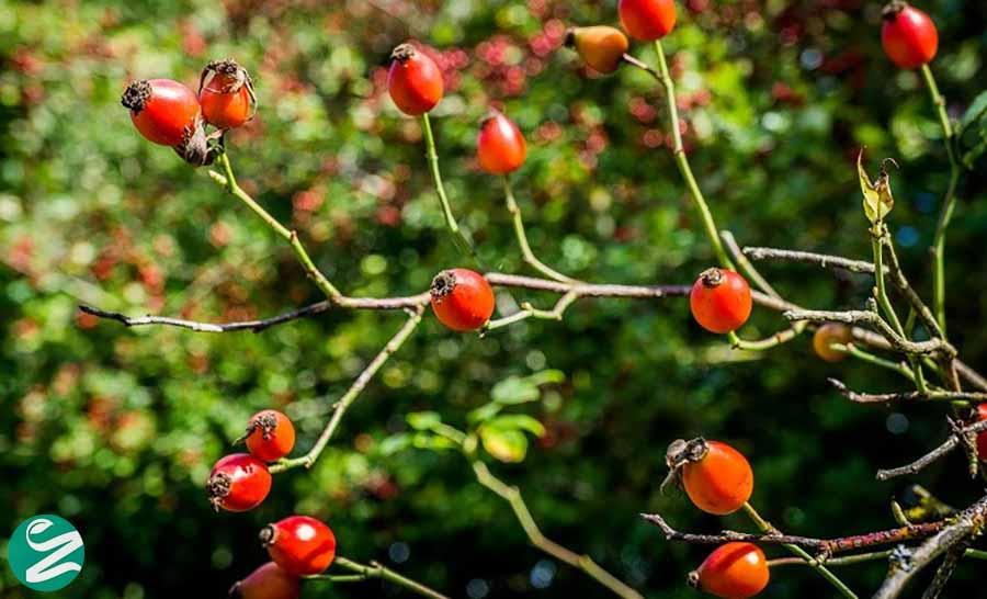 میوهی گل رز منبع ویتامین c